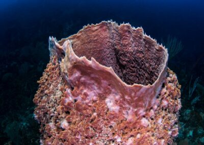 This giant barrel sponge could be over 200 years old