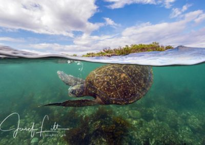East Pacific green turtle at Punta Moreno, Isabela, Galapagos © Josef Litt