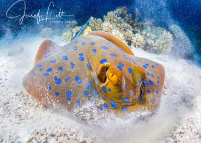 The feast. Blue-spotted stingray, Egypt. © Josef Litt