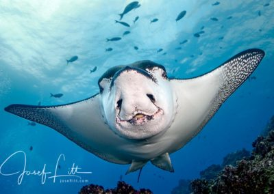 Pacific white-spotted eagle ray (Aetobatus laticeps), Galapagos © Josef Litt