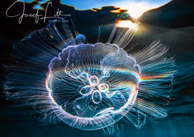 Moon jellyfish Aurelia aurita under the surface, Jardines de la Reina, Cuba © Josef Litt