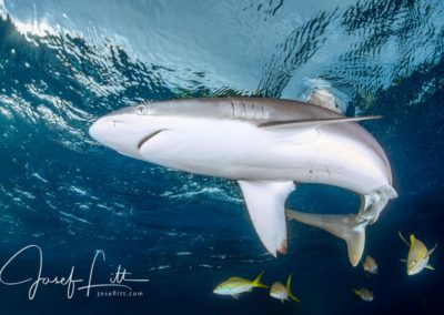 Silky shark cutting the surface with its fin. Jardines de la Reina, Cuba © Josef Litt