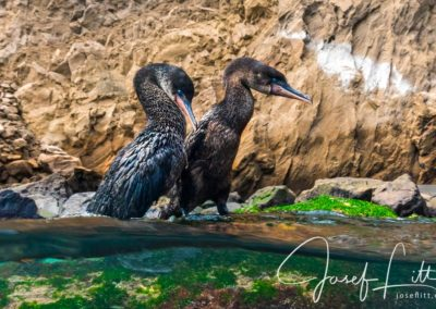 Galapagos wildlife: Flightless cormorants at Punta Vicente Roca, Isabela, Galapagos