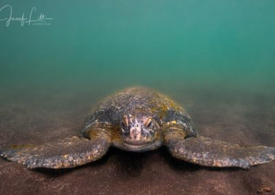 Galapagos green turtle resting at the sea bottom at Punta Vicente Roca, Isabela