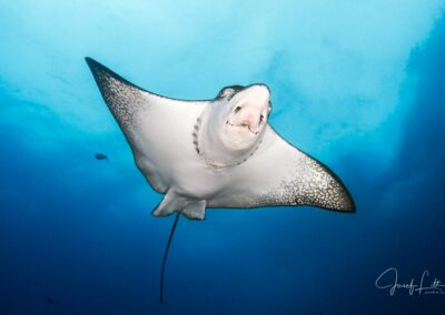 Pacific white-spotted eagle ray, Wolf Island, Galapagos