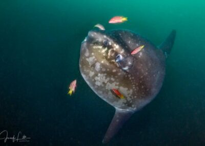 South oceanic sunfish at Punta Vicente Roca, Isabela, Galapagos
