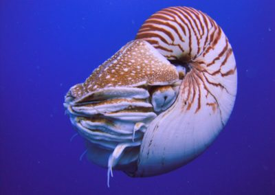Chambered Nautilus, Palau diving