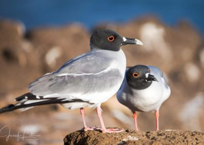 A pair of swallow-tailed gulls at Seymour Norte, Galapagos