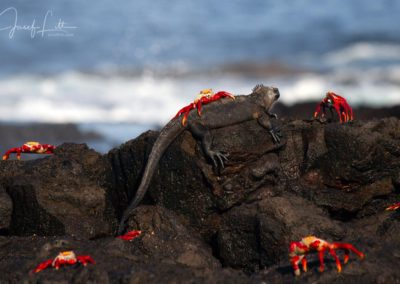 Sally lightfoot crabs and marine iguana at James Bay, Santiago