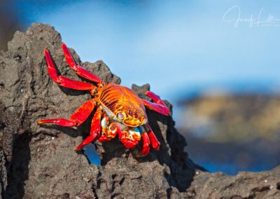 Sally lightfoot crab at James Bay, Genovesa, Galapagos