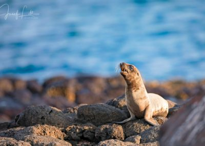 Galapagos photographs: Sea lion pup at Seymour Norte, Galapagos